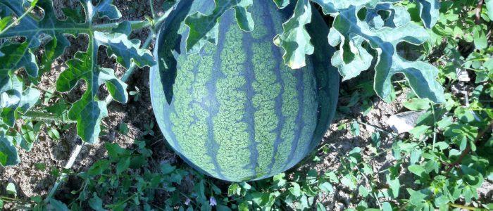 Anguria Gialla 700x300 Cocomero e melone prelibatezze estive