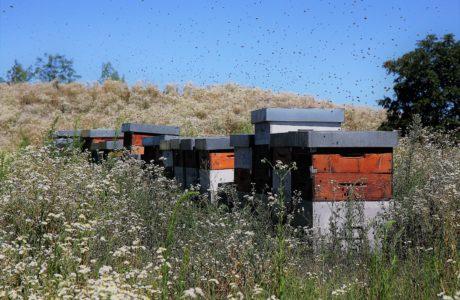 Api del Monferrato 460x300 Monferrato 8217 s bees