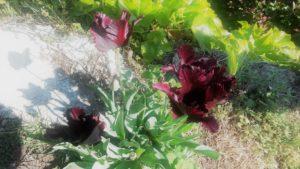 black-tulip