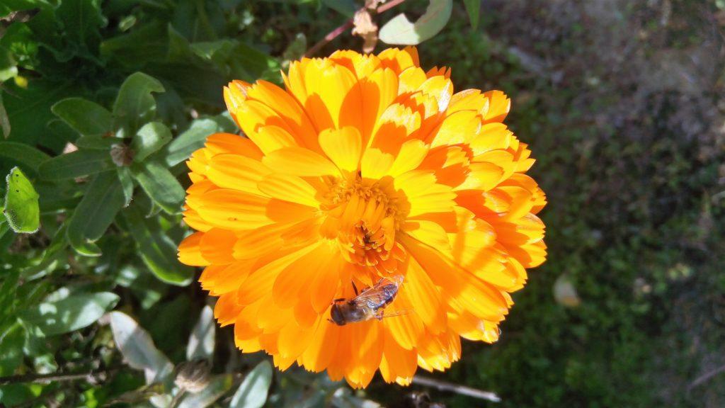 Calendula con ape 1024x576 Che autunno particolare