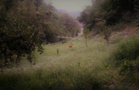 Capriolo in giardino 1 1 460x300 The deer in the garden