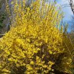 Fiore giallo di Forsizia