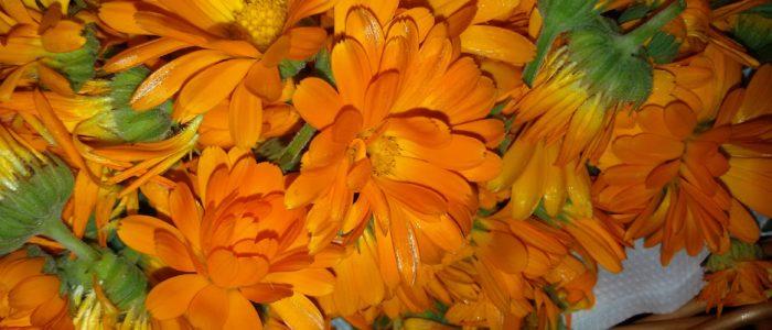 Fiori 700x300 I poteri 8220 magici 8221 del fiore di Calendula 8230 solo leggende