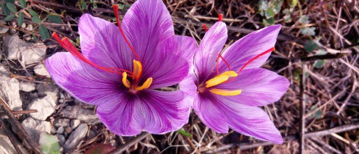 Fiori di zafferano Villa Cheti 700x300 October the month of saffron