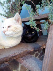 gatto-bianco-gatto-nero