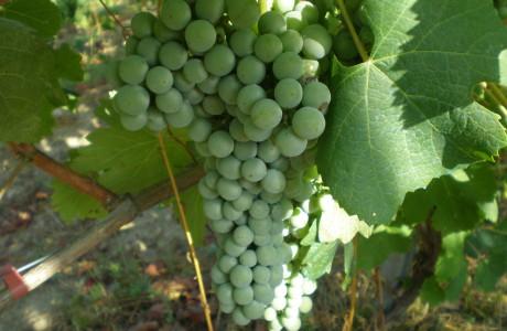 Grappolo verde 5 Inside Link Percorsi e Sapori 460x300 Green Grape