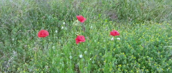 I Papaveri ci guardano 1 700x300 L 8217 orto 8230 giardino di Villa Cheti