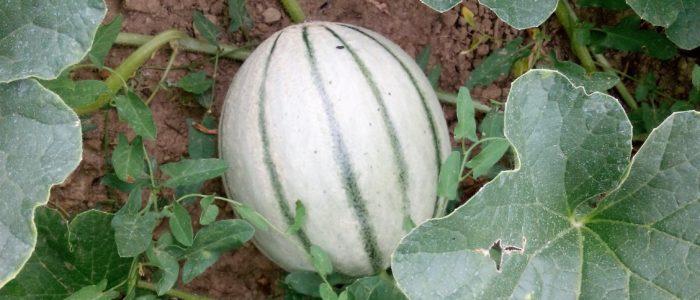 Melone 700x300 Melone curiosit e propriet