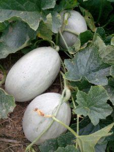 meloni-gialli