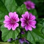 Mlava fiore
