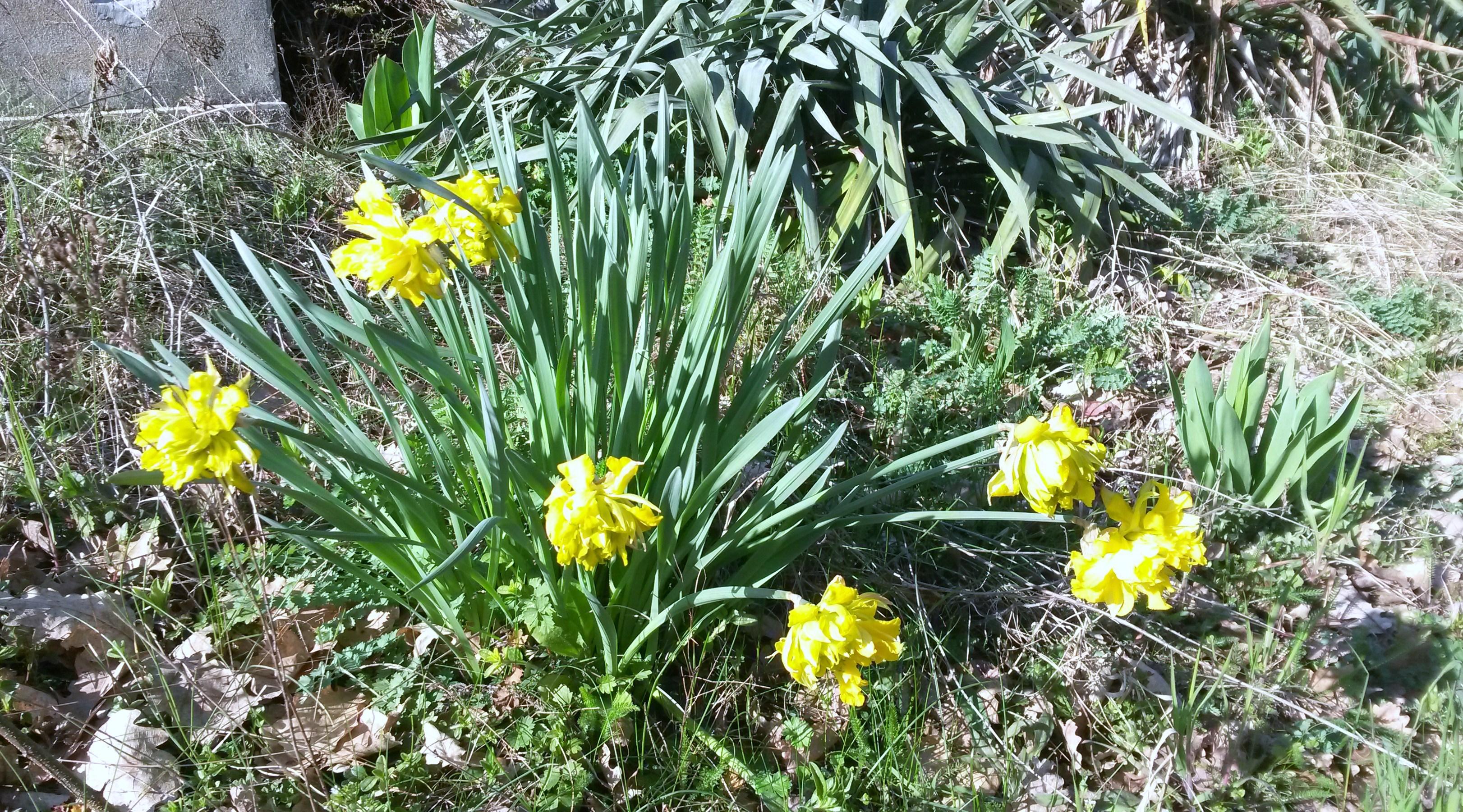 Il fiore giallo del tarassaco villa cheti for Narciso giallo