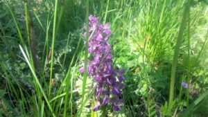 orchidea-dei-prati