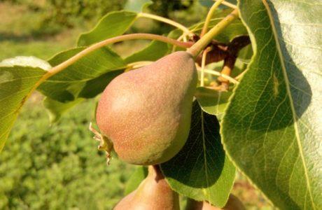 Pere dellorto 460x300 pears 8220 priest bite 8221