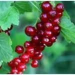 Ribes Rosso a Grappolo d'Uva