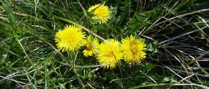 Tarassaco 700x300 Il fiore giallo del Tarassaco