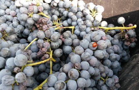 Uva e coccinella 460x300 Grapes ripe