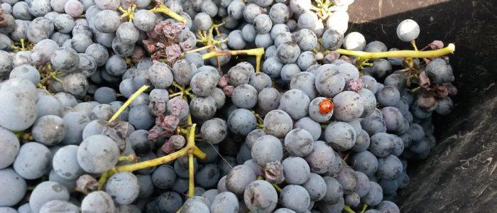 Uva e coccinella 700x300 Si vendemmia