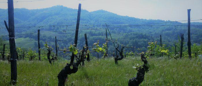 Vigna 700x300 Erbe e fiori sul sentiero della collina di Monterosso