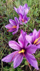 Villa Cheti Zafferano 169x300 October the month of saffron