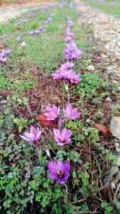 Zafferano Villa Cheti 1 169x300 October the month of saffron