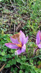 Zafferano e farfalla 169x300 October the month of saffron