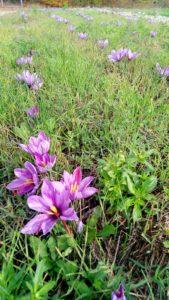 Zafferano in campo 1 169x300 October the month of saffron