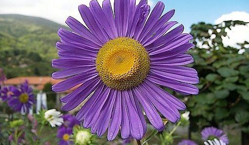 aster alpinus 512x300 Il fascino dei fiori