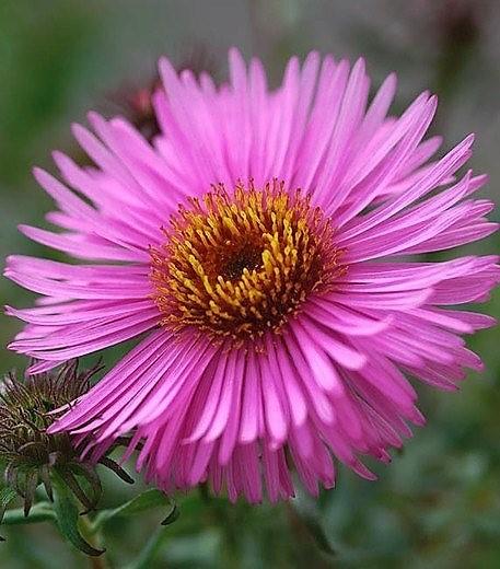 aster novae angliae Barrs Pink Il fascino dei fiori