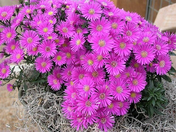 aster perenni Il fascino dei fiori