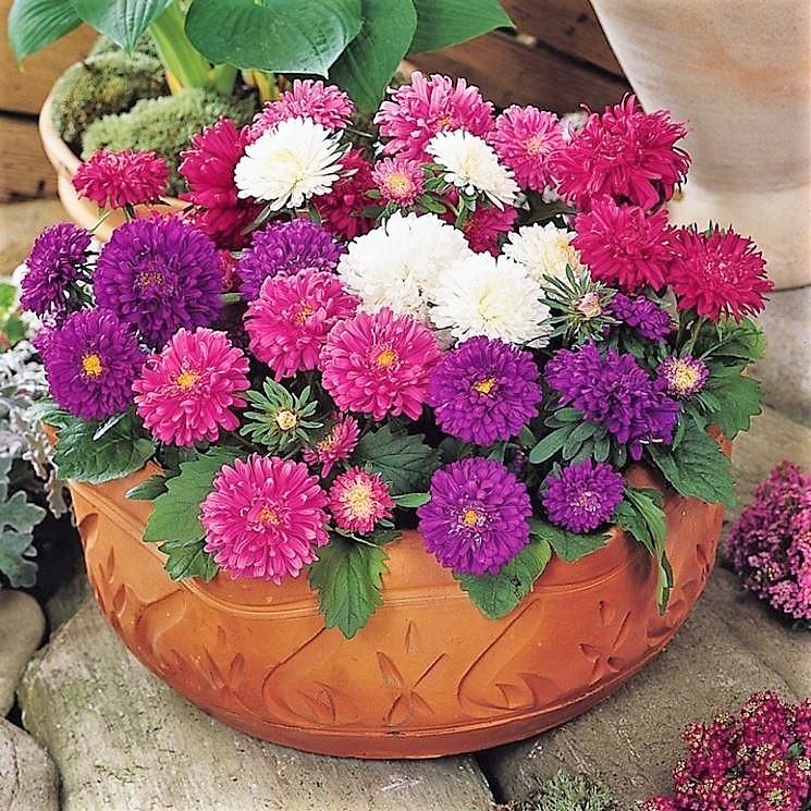 aster Il fascino dei fiori