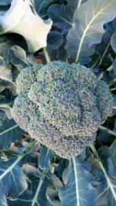 broccolo 169x300 Che autunno particolare
