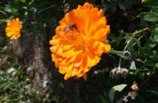 calendula con ape 320x210 Fleurs amis sinc res