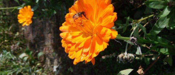 calendula con ape 700x300 Amici fiori