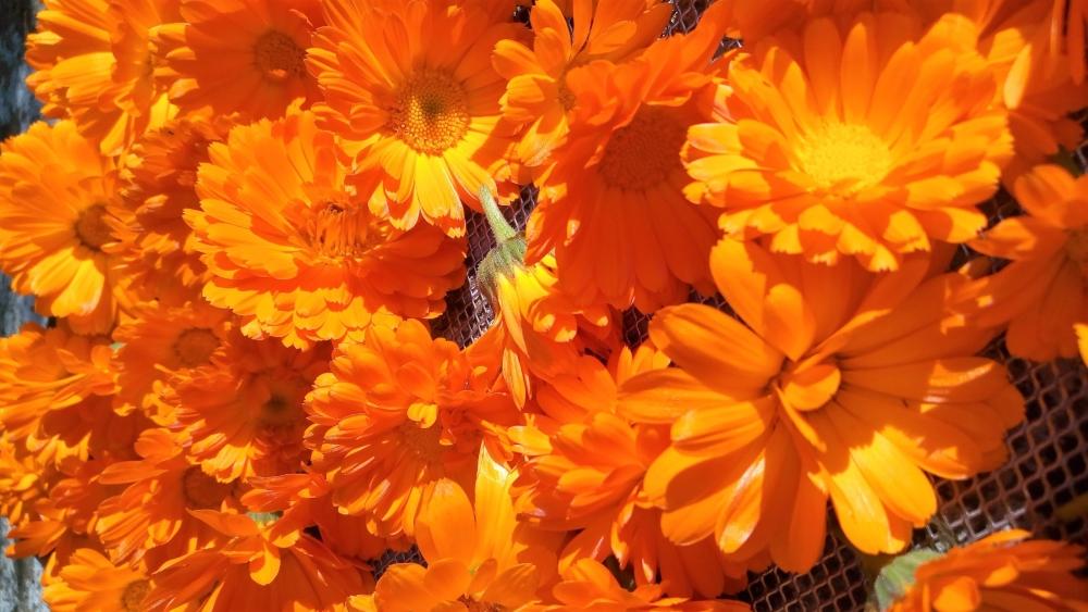calendula per essicazione 1 Amici fiori
