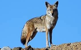 coyote E fu il primo coniglio 8230 Il pianeta inabitabile