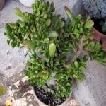 Crassula Clavata