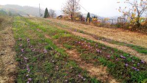 ed ecco lo zafferano 300x169 October the month of saffron