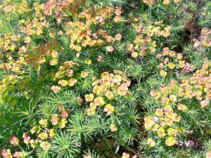 euforbia 300x225 I Colori di Villa Cheti