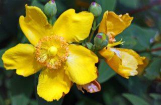fiore di iperico 1 320x210 L 8217 huile d 8217 hypericum il fait du bien nous ainsi qu 8217 nos amis les animaux