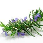 fiore di rosmarino 150x150 Des fleurs notre bien tre et beaut