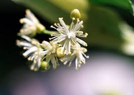 fiore tiglio villa cheti 1 Felicit in Inverno in Poche Mosse 8230