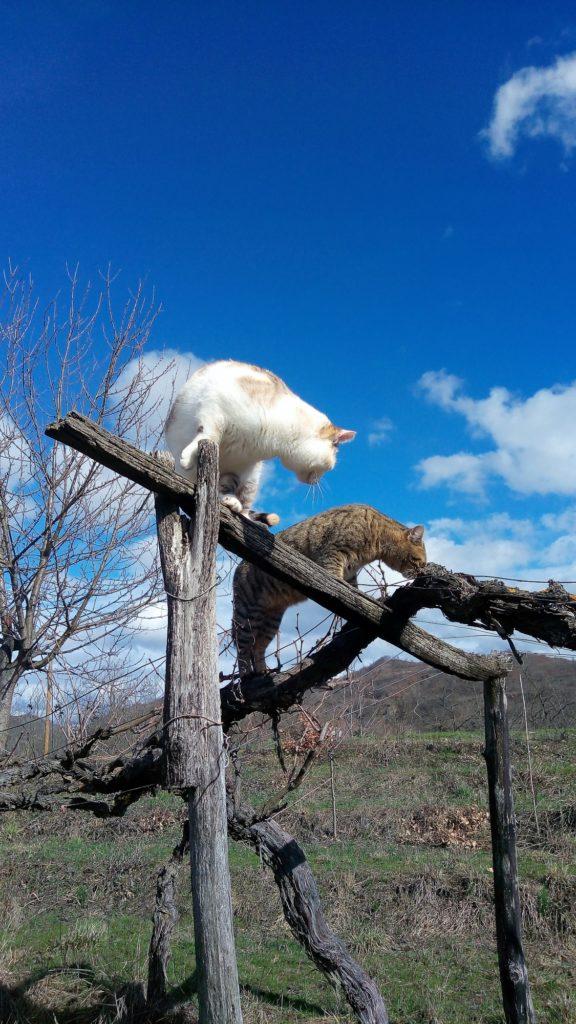 gatti e vigna 576x1024 I gatti sulla topia 8230 8230 che scotta 8230 aspettando la primavera