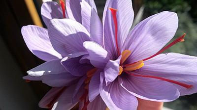 hp shopping benessere Fleurs et Pistils de Safran