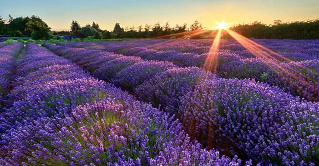 lavanda e sole 1024x536 Essential Oil and Floral Waters