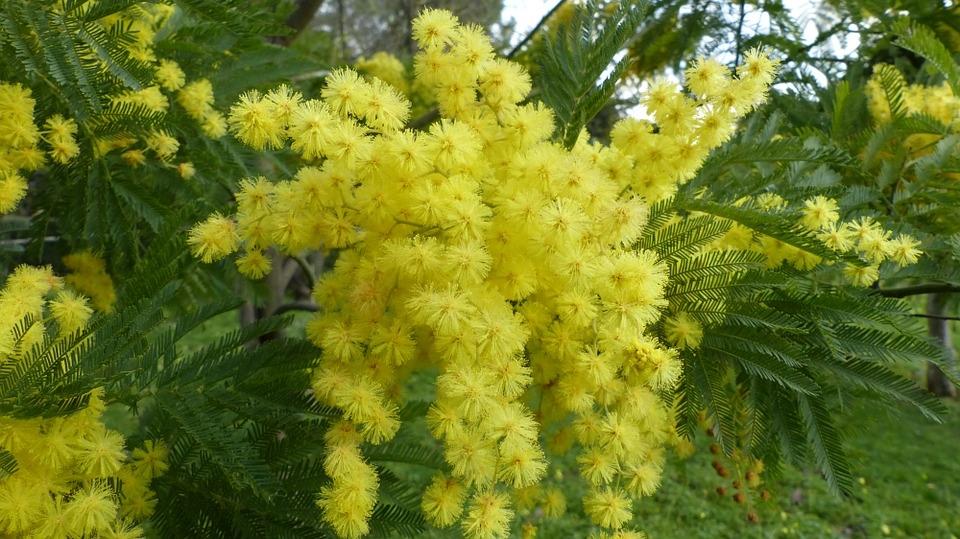 mimosa 8 Marzo Festa della Donna