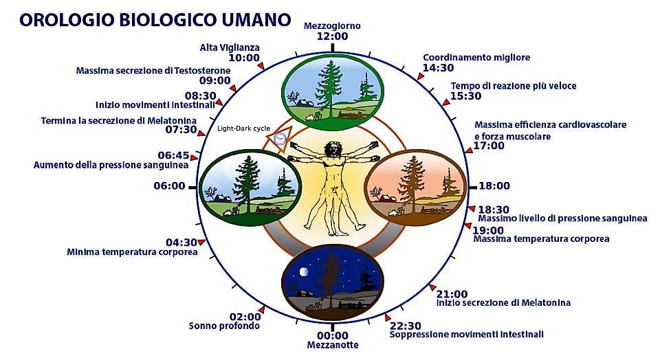 orologio biologico umano L 8217 orologio biologico