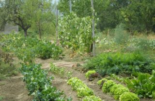 orto 2 320x210 Les synergies en agriculture le potager
