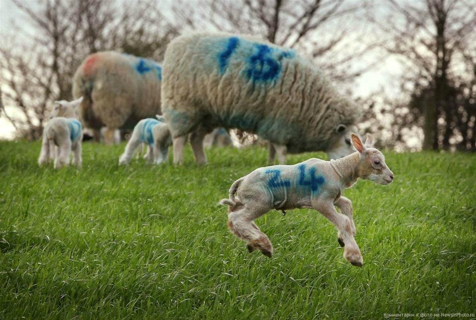 pecore La pecora e la luna alchimia