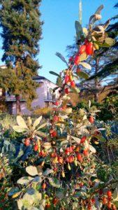 pianta di goji 169x300 Che autunno particolare