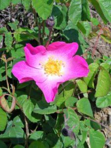 rosa antica 225x300 I Colori di Villa Cheti